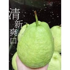 水果達人 珍珠芭樂1箱4斤
