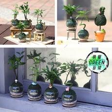 【迎光】萌寵動物綠苔球(羅漢松、竹柏、合果芋、發財樹   四款可選)